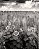 SunflowersBW