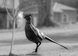 Bronze pheasant