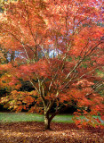 Another flaming maple