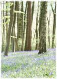 Bluebell wood, Randwick, Gloucs(2)