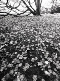 Maple-leaf Carpet(mono)