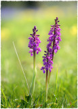 Early-Purple orchids, Minchinhampton Common, Gloucs.