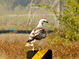 Red-tailed -Kriders 11-4-07 Ensley - perched
