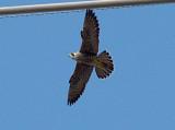Peregrine - 10-6-07 Ensley - male in flight.