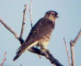 Merlin - 10-13-07 adult female - Ensley