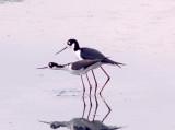 Black-necked Stilt - mating ritual