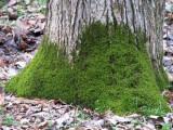 creeping moss