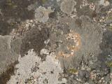 multiple rock lichen