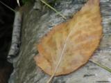 leaf on birch bark