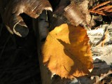birch bark and dry leaves