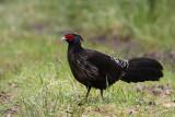Turkeys, Grouse, Pheasants & Partridges