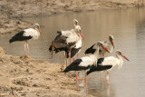 White Storks (Ciconia ciconia) and one Yellow-billed Stork (Mycteria ibis)