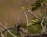 Zomertortel - Turtle Dove