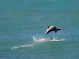 Grijze Dolfijn - Guiana Dolphin