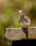 Zuidamerikaanse Inkaduif - Scaled Dove