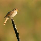 Nachtegaal - Nightingale