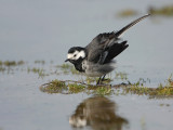 Rouwkwikstaart -Pied Wagtail