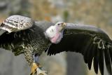 Ruppels Gier - Gyps rueppellii - Rueppells Vulture