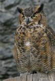 Oehoe - Bubo bubo - Eagle Owl