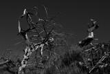 Point-Bonita-cypress