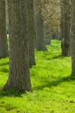 Poplar Tree avenue