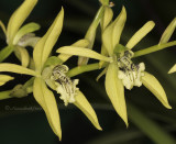 Coelogyne Species and Hybrids