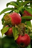 Fresh summer apples, Brigit's Garden