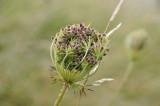 Wildflower seedhead  - Brigit's Garden