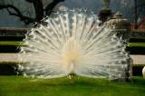 Italian peacock 1