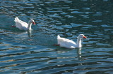 Contented geese
