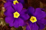Purple woodland flowers