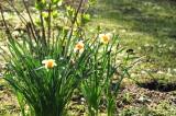 Italian daffodils backlit