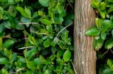 Old escallonia trunk.jpg