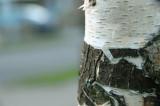 Peeling young bark.jpg