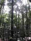 Forest in Nelson Lakes N.P.