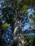 Tree in the Coromandel