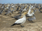 The Gannets