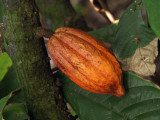 Cacao on tree