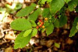 Coffee (Coffea Arabica)
