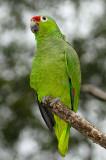 158 Green Parrot.jpg