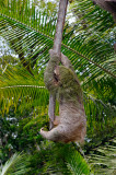 160 Hanging Sloth 1.jpg
