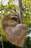 160 Hanging Sloth 2.jpg