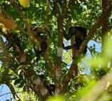 160 Howler Monkeys.jpg