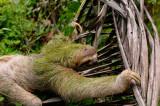 160 Three Toed Sloth.jpg