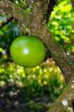161 Calabash Tree 3.jpg