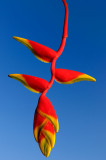 161 Lobster Claw Heliconia.jpg