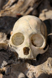 161 Monkey Skull 1.jpg