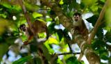 161 Spider Monkeys 3.jpg