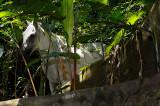 161 White horse in Rainforest 2.jpg