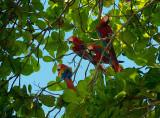 161 Wild Macaws 1.jpg
